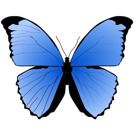 mariposa: The blue butterfly on a white background