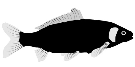 Vector illustration of Carp on a white background Vector