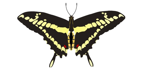 Vector drawing of Papilio machaon