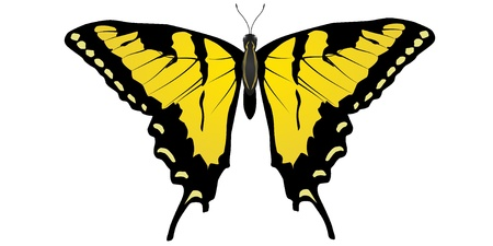 machaon: Vector drawing Machaon butterfly Illustration