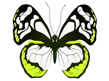 Large white butterfly on a white background Stock Vector - 11891113
