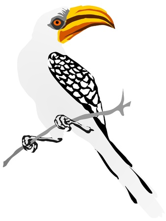hornbill: yellow-billed hornbill