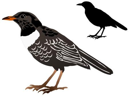 blackbird: Wektor obraz kosa Ilustracja