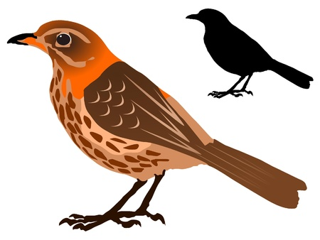 thrush: vectors Song Thrush