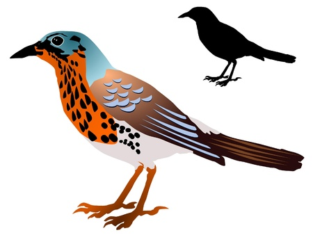 vectors missel thrush Stock Vector - 11897562