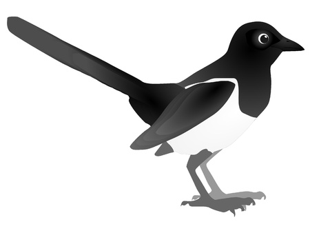crow: Vector image of magpie