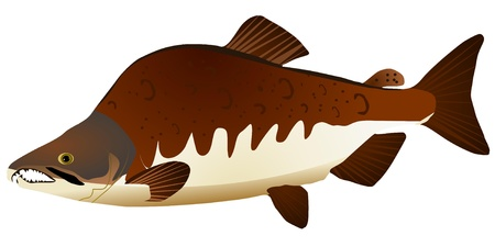 Vector image of pink salmon Stock Vector - 11897550