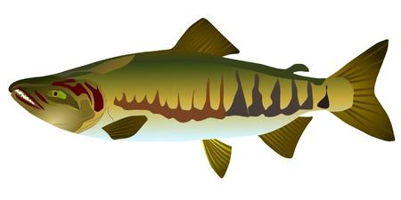 white salmon river: Vectors salmon