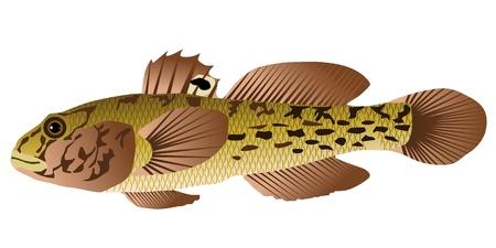 Vectors goby fish Stock Vector - 11897615