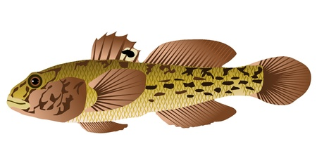 goby: Vectors goby fish