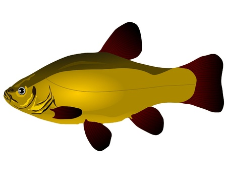tinca tinca: Vectors tench