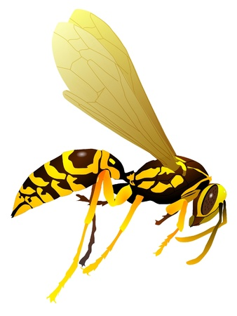 stinger: Vector drawing of wasp