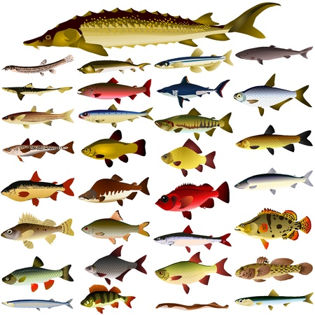 crucian: collection of vector images of fish