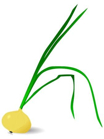Vector illustration of onion Stock Illustration - 11942604