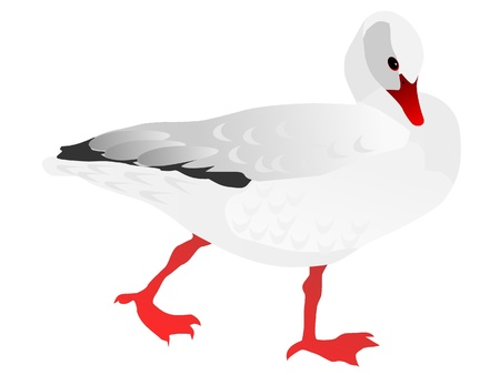 canada goose: Vector drawing of white goose