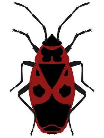 wingless: Vector illustration Beetle soldier (pyrrhocoris apterus) on a white background