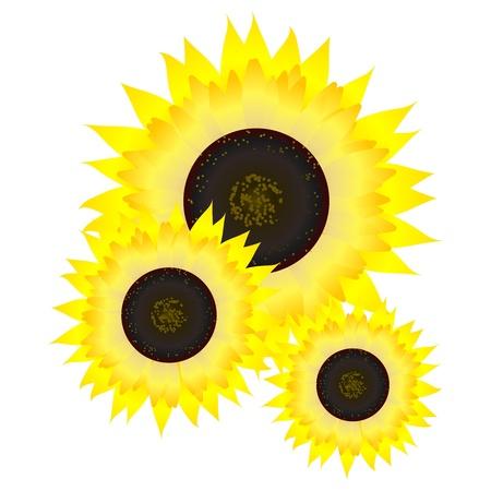 Sunflower.  vector Stock Vector - 11943063