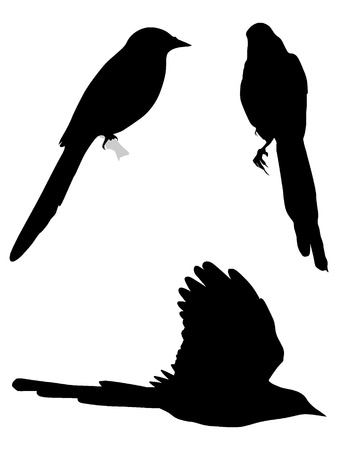 pica: Set of silhouettes of magpies