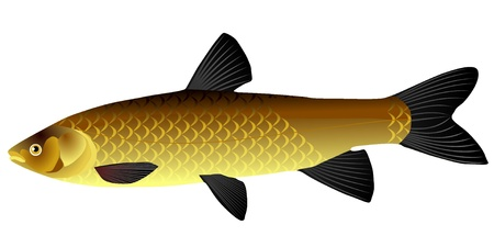 vectors Chinese carp 