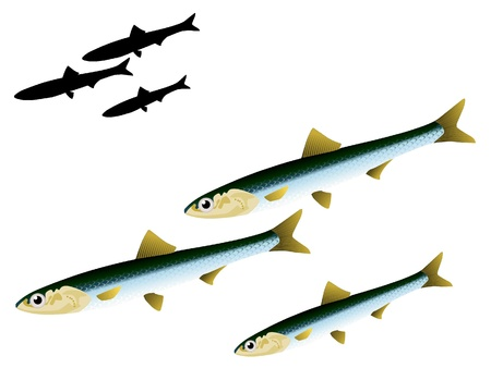 engraulis: vectors anchovy