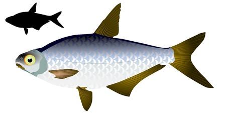 abramis: vector image of white-eye