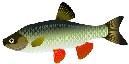 vector de la carpa