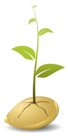 germination: Granos germinados. vector