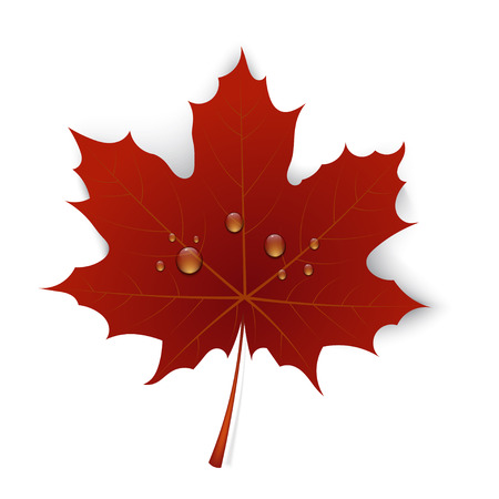 maple leaf: Red maple leaf with drops of water on a white background