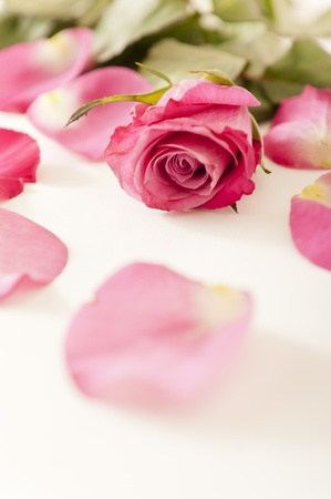 flowerhead: Close up of a pink rose and petals