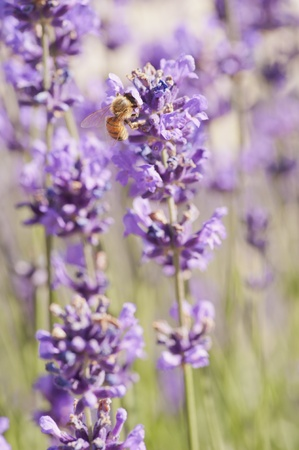 Bee and Lavender Stock Photo - 11068180