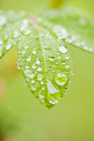 Close-up of green rose leaves with raindrops Stock Photo