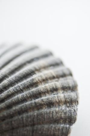 Close-up of a Sea Shell photo