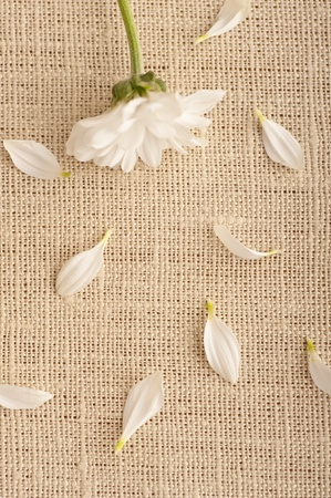 peeled off: A white flower on linen with some petals peeled off