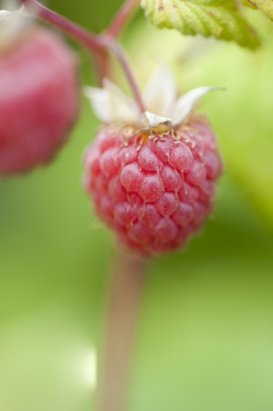 A close up of ripe raspberries growing in a garden photo
