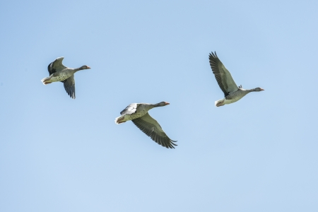 Greylag geese in flight against a clear blue sky photo