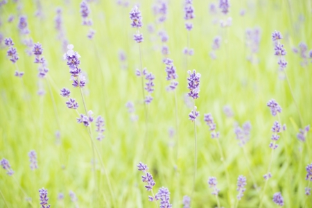 Blooming lavender flowers in organic herbal garden Stock Photo - 15542102