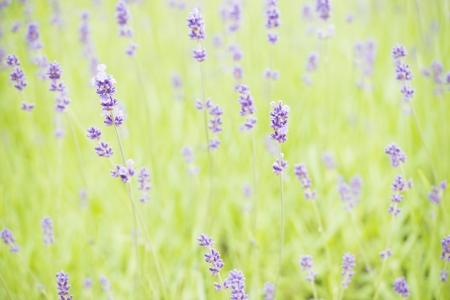 Blooming lavender flowers in organic herbal garden Stock Photo - 15542102