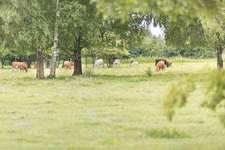 Cattle standing in a rural meadow Stock Photo - 15541385