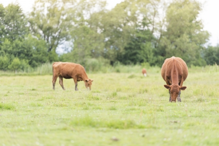 Cattle standing in a rural meadow Stock Photo - 15542051