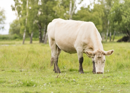 Cattle standing in a rural meadow Stock Photo - 15542058