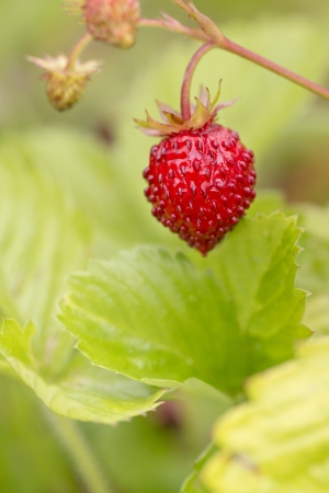 Macro shot of wild strawberries ready for harvest