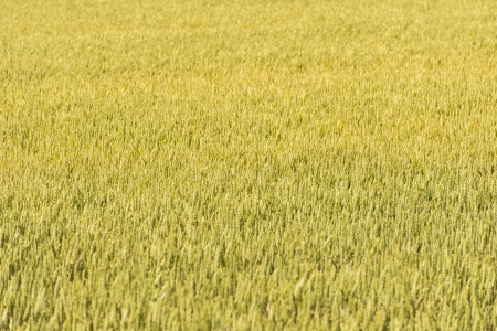 Vast field of wheat growing in natural rural area Stock Photo - 16571212