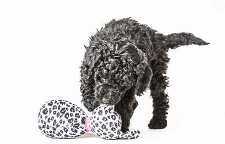 Little adorable black poodle puppy playing with a soft toy photo