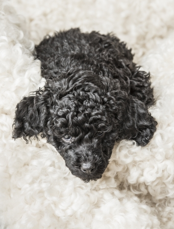 Little adorable black poodle puppy relaxing on white fur