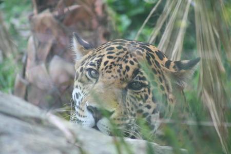 look jaguar