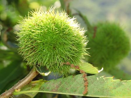 alpes: Chestnuts - Ardeche