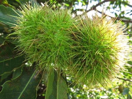terroir: Chestnuts - Ardeche