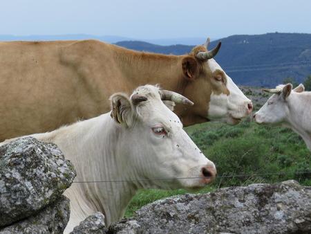 Un troupeau de vaches sur un champ vert herbeux Banque d'images - 86025585