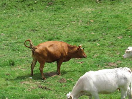 Une vache brune et blanche sur un champ vert herbeux Banque d'images - 86025586