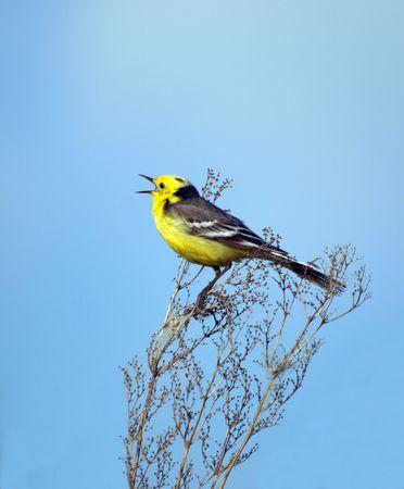Singing bird photo